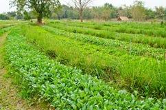 Campo delle verdure Fotografia Stock Libera da Diritti