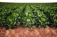 Campo delle verdure sull'azienda agricola immagini stock libere da diritti