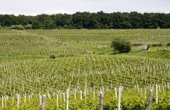 Campo delle vigne Fotografia Stock Libera da Diritti