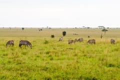 Campo delle zebre in Serengeti, Tanzania Immagine Stock