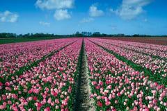 Campo dentellare dei tulipani Immagini Stock Libere da Diritti