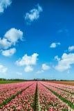 Campo dentellare dei tulipani Fotografia Stock