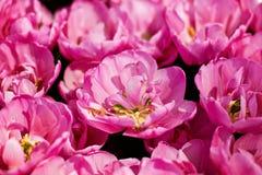 Campo dentellare dei tulipani Fotografia Stock Libera da Diritti