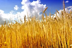 Campo di agricoltura con cielo blu, mais maturo e grano potato Fotografie Stock