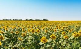 Campo di agricoltura con i girasoli ed il cielo blu Fotografia Stock Libera da Diritti