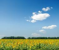 Campo di agricoltura con i girasoli ed il cielo blu con le nuvole Fotografia Stock