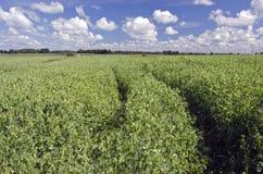 Campo di agricoltura con i piselli ed il cielo blu di fioritura Fotografia Stock