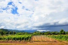 Campo di agricoltura con l'albero di pepe e bei nuvole e cielo Immagine Stock