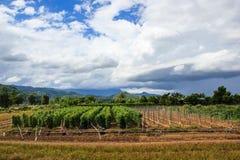 Campo di agricoltura con l'albero di pepe e bei nuvole e cielo Immagine Stock Libera da Diritti