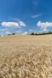 Campo di agricoltura con le piante del cereale Fotografia Stock
