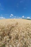 Campo di agricoltura con le piante del cereale Immagine Stock