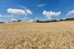 Campo di agricoltura con le piante del cereale Fotografia Stock Libera da Diritti