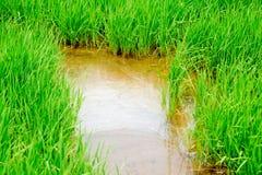 Campo di agricoltura del riso della Tailandia Fotografia Stock