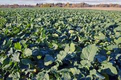 Campo di agricoltura del seme di ravizzone della violenza in autunno Fotografia Stock
