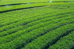 Campo di agricoltura del tè verde Fotografia Stock Libera da Diritti