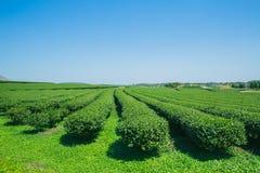 Campo di agricoltura del tè verde con cielo blu Immagini Stock