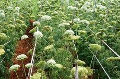 Campo di agricoltura dell'Asia, fiore della carota Immagini Stock Libere da Diritti