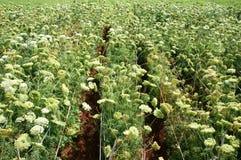 Campo di agricoltura dell'Asia, fiore della carota Immagini Stock