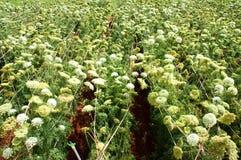 Campo di agricoltura dell'Asia, fiore della carota Immagine Stock Libera da Diritti