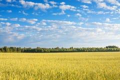 Campo di agricoltura di segale matura Immagini Stock Libere da Diritti