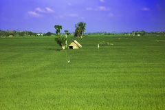 Campo di agricoltura in India Immagine Stock Libera da Diritti