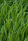 Campo di alta erba verde Immagini Stock