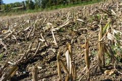 Campo di aridocoltura di estate a causa di nessuna pioggia Immagini Stock Libere da Diritti