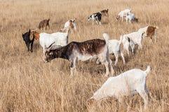 Campo di azienda agricola degli animali delle capre Fotografie Stock Libere da Diritti