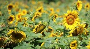 Campo di bei girasoli gialli di estate Immagini Stock Libere da Diritti