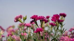 Campo di bei petali rosa del fiore del fiore del garofano sulle foglie verdi sotto cielo blu in un parco, fondo vago fotografia stock