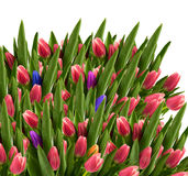 Campo di bei tulipani Fotografia Stock
