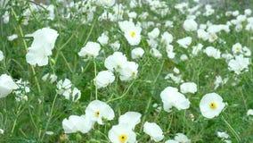 CampoCampo di bello albiflora bianco dell'argemone delle piante del papavero spinoso, stock footage