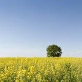 Campo di Canola con l'albero Immagini Stock Libere da Diritti