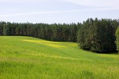 Campo di Canola e foresta del pino Immagine Stock