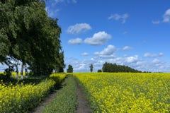 Campo di canola di fioritura, percorso nel campo, alberi lungo il PA Immagine Stock Libera da Diritti