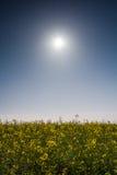 Campo di Canola sul sole e sul cielo blu Immagine Stock