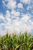 Campo di cereale 09a Fotografia Stock