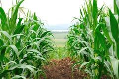Campo di cereale Immagini Stock Libere da Diritti