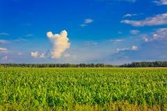 Campo di cereale Fotografia Stock Libera da Diritti