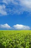 Campo di cereale Immagini Stock