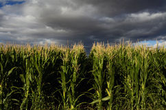 Campo di cereale. Fotografia Stock