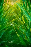 Campo di cereale Immagine Stock