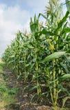 Campo di cereale Fotografie Stock