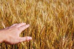 Campo di cereale 7 Fotografie Stock Libere da Diritti