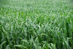 Campo di cereale Fotografia Stock