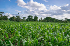 Campo di cereale fotografie stock libere da diritti
