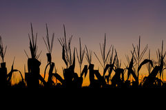 Campo di cereale al tramonto Immagini Stock