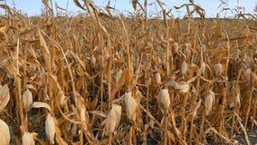 Campo di cereale asciutto stock footage