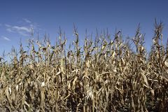 Campo di cereale asciutto Immagine Stock