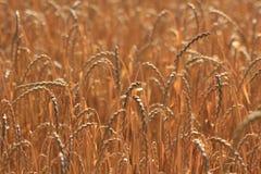 Campo di cereale, compitato, dinkel Fotografie Stock Libere da Diritti
